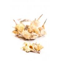 Mušle v tvare špirály 4 - 7 cm